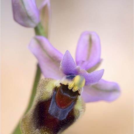 Ophrys tenthredinifera, Mallorca, Spain