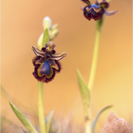 Ophrys speculum, Mallorca, Spain
