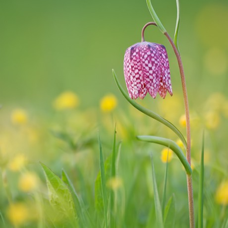 Fritillaria Meleagris, Germany