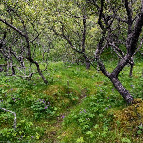 Entlang der Jökulsá werden kleine Birkenwäldchen passiert
