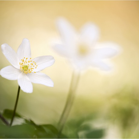 Anemone nemorosa, Germany