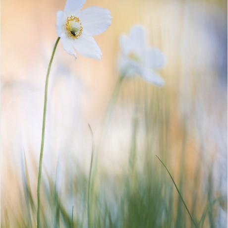 Anemone sylvestris, Germany